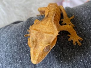 crested gecko baby
